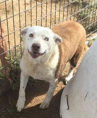 Border-Aussie Dog For Adoption in Golden, CO