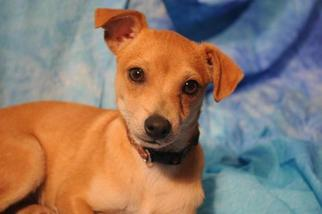 Chihuahua Dog For Adoption in Garland, TX, USA