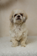 Shih Tzu Dog For Adoption in Weston, FL, USA