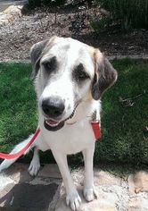 Anatolian Shepherd-Great Pyrenees Mix Dog For Adoption in Mesa, AZ