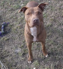 American Pit Bull Terrier Dog For Adoption in Bonifay, MO, USA