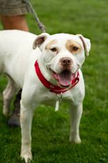 American Pit Bull Terrier Mix Dog For Adoption in Beckley, WV, USA