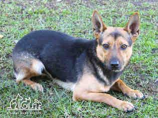 View Ad Cardigan Welsh Corgi German Shepherd Dog Mix Dog For