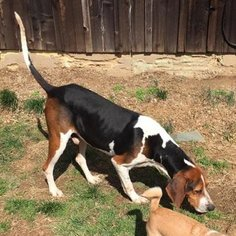 Treeing Walker Coonhound Dog For Adoption in Grayson, KY, USA