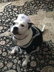 American Staffordshire Terrier-Unknown Mix Dog For Adoption in Whitestone, NY, USA