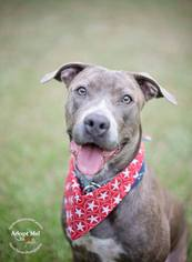 Labrador Retriever-Staffordshire Bull Terrier Mix Dog For Adoption in Houston, TX