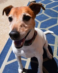 Jack Russell Terrier Mix Dog For Adoption in Kansas City, MO, USA
