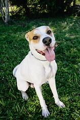 American Bulldog-Labrador Retriever Mix Dog For Adoption in Weston, FL
