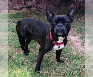 Faux Frenchbo Bulldog Dogs for adoption in Little Rock, AR, USA