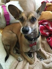 Basenji-Chihuahua Mix Dog For Adoption in Lake Forest, CA, USA