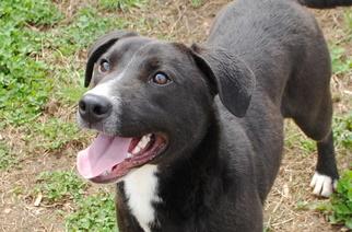 Labrador Retriever Mix Dog For Adoption in Anniston, AL