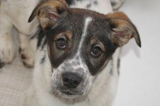 Border Collie Dog For Adoption in Crossville, TN, USA