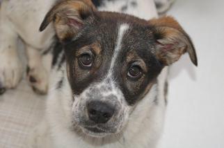 Border Collie Dog For Adoption in Crossville, TN, USA