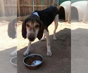 Treeing Walker Coonhound Dogs for adoption in Apple Valley, CA, USA