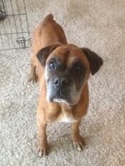 Boxer Dog For Adoption in Hurst, TX, USA