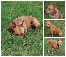 American Pit Bull Terrier Mix Dog For Adoption in lago vista, TX, USA