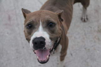 American Pit Bull Terrier Dog For Adoption in Fort Lauderdale, FL
