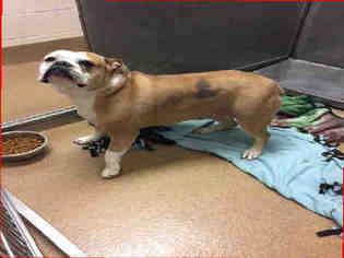 American Bulldog Dog For Adoption near 60014, Crystal Lake , IL, USA