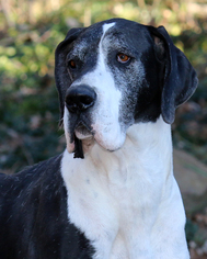 View Ad Great Dane Dog For Adoption Near Arkansas Eureka Springs Usa Adn 1124328