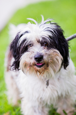 View Ad Shih Tzu Tibetan Terrier Mix Dog For Adoption California
