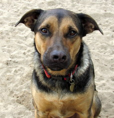 German Shepherd Dog Mix Dog For Adoption in Holly Springs, NC, USA