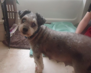 Poodle (Miniature) Mix Dog For Adoption in Maricopa, AZ