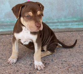 View Ad Chinese Shar Pei Doberman Pinscher Mix Dog For Adoption