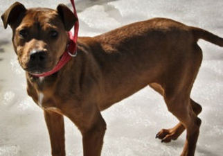 Chinese Shar-Pei Mix Dog For Adoption in Alton, IL, USA