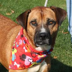 Boxer Mix Dog For Adoption in Garfield Heights, OH, USA