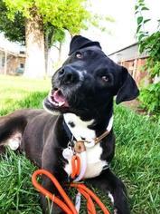 View Ad: Labrador Retriever Mix Dog for Adoption near Missouri
