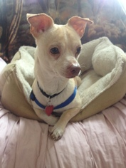 Chihuahua Mix Dog For Adoption in Tomball, TX, USA