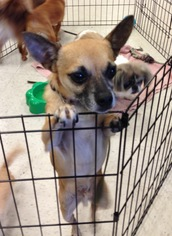 Chihuahua Dog For Adoption in Lithia, FL, USA