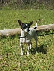 Rat Terrier Dog For Adoption in Social Circle, GA, USA