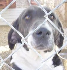 Basset Hound-Labrador Retriever Mix Dog For Adoption in Porter Ranch, CA
