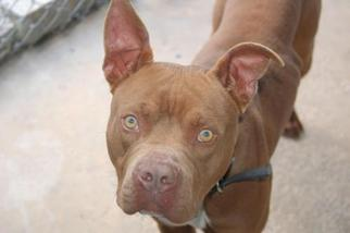 American Pit Bull Terrier Mix Dog For Adoption in Crossville, TN, USA