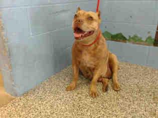 American Pit Bull Terrier Dog For Adoption in San Bernardino, CA, USA