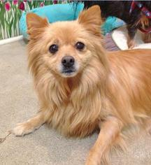 Pomeranian Dog For Adoption in Irvine, CA, USA