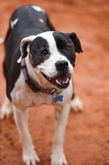 American Pit Bull Terrier Dog For Adoption in Kanab, UT, USA