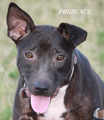 Staffordshire Bull Terrier Dog For Adoption in Lone Oak, TX, USA