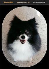 Pomeranian Dog For Adoption in Harrisburg, PA, USA