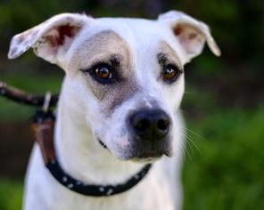 View ad lab pointer dog for adoption california el cajon usa lab pointer dog for adoption in el cajon ca usa solutioingenieria Images