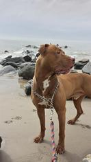American Pit Bull Terrier Dog For Adoption in Williston, VT