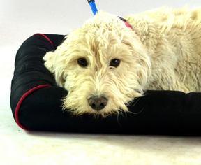 Puppyfinder com: Labradoodle dogs for adoption near me in