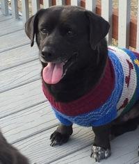 Dorgi Dog For Adoption in Fresno, CA, USA