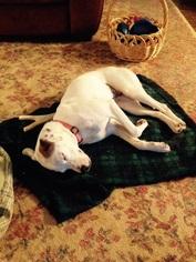 American Bulldog Mix Dog For Adoption in Blairsville, GA