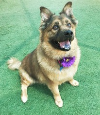 Chow Chow-Unknown Mix Dogs for adoption in Tempe, AZ, USA