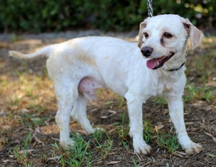 Poocan Dog For Adoption in El Cajon, CA, USA
