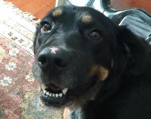 View Ad Bernese Mountain Dog Mix Dog For Adoption Near