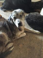 Australian Shepherd Mix Dog For Adoption in Alvarado, TX, USA