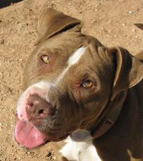 Bull Terrier Mix Dog For Adoption in Las Cruces, NM, USA